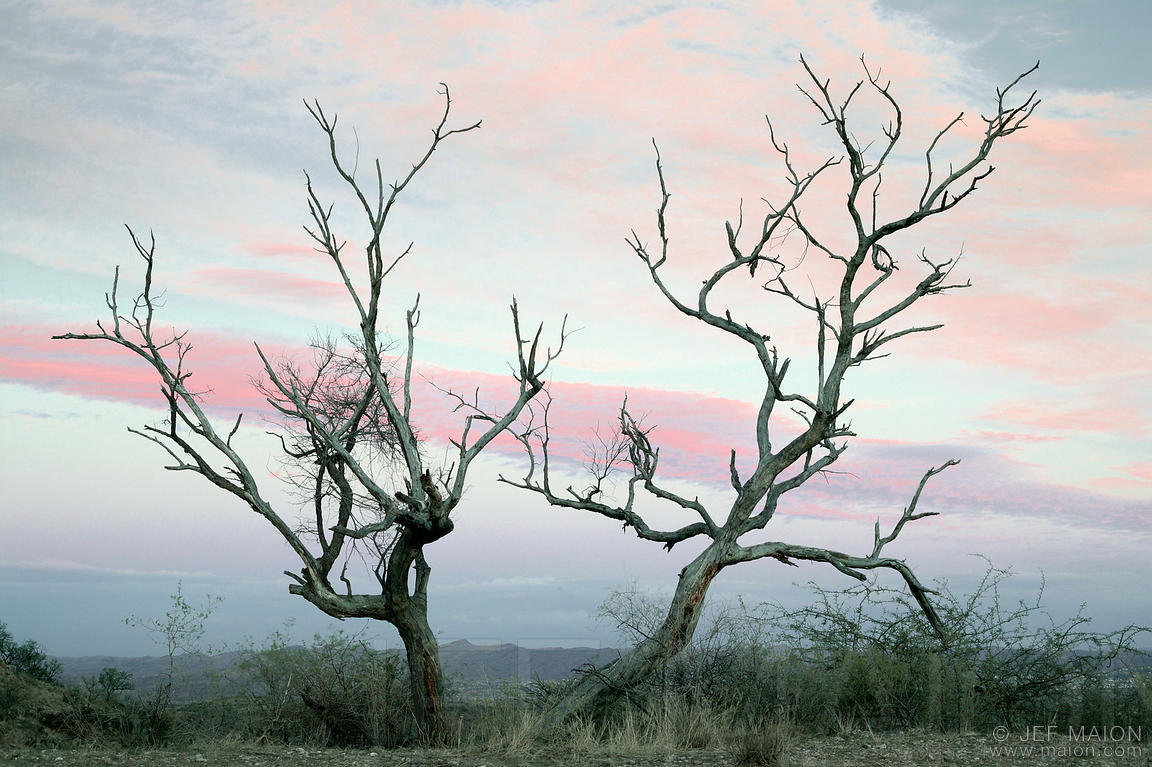 Acacia snag sunset