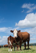 Hereford cow with calf at foot drinking milk off its mother, in Cumbrian landscape, UK.