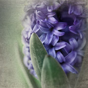 Hyacinth, Botanical Art