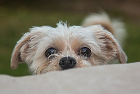 Small dog peeking over cushion with eyes ears and nose showing