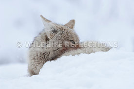 coyote_snow_snooze_2