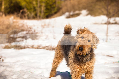 curious airedale terrier staring at camera from field of snow
