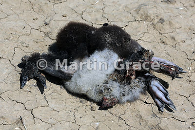 Dead Southern Rockhopper Penguin (Eudyptes chrysocome chrysocome) chick, Cape Coventry, Pebble Island
