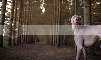 grey dog with expression turning back waiting in pine trees