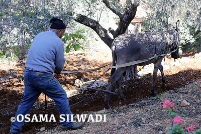 Traditional Farming in Palestine .. Plowing