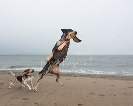 Bluetick Coonhound Catching a Ball Mid-air on Beach