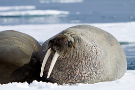 Two walrus' lay on a block of ice in the water in Storfjorden.