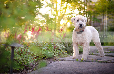 blond dog standing in garden setting