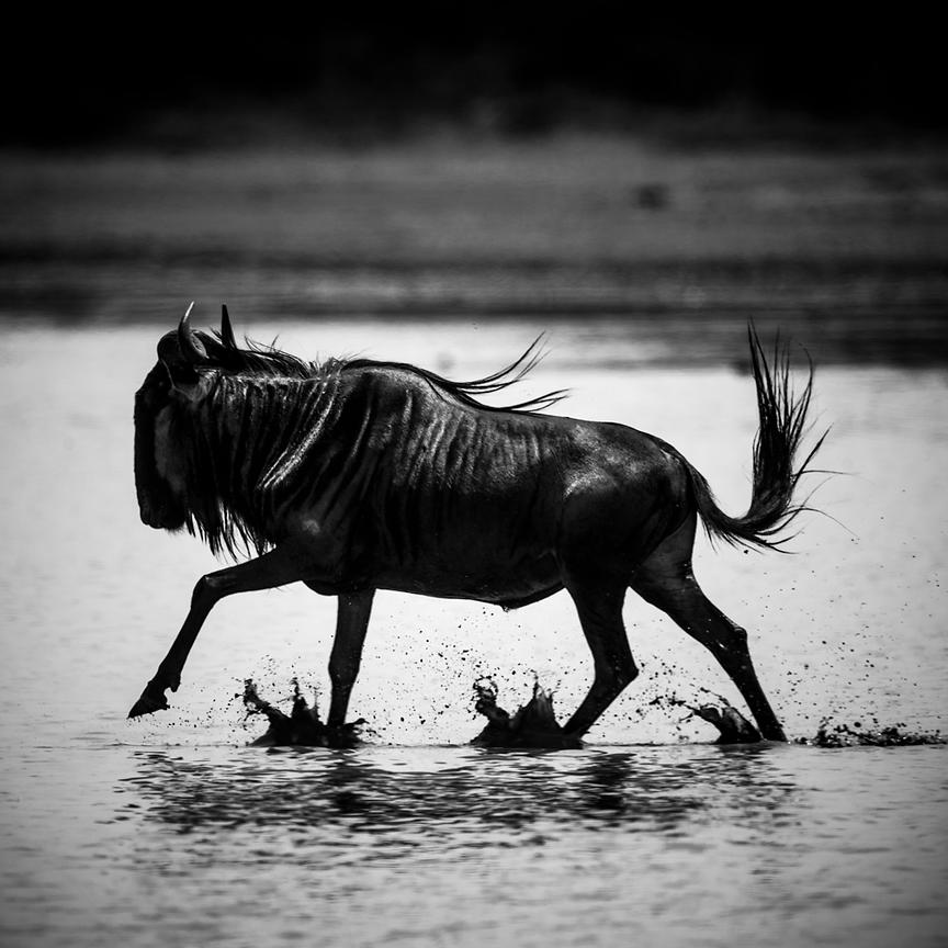 8709-Wildebeest_crossing_the_river_Laurent_Baheux