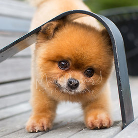 Close-up of Cute Pomeranian Peeking Under Bench Armrest