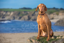 Noble looking Hungarian Vizsla Sitting on Rock at Beach with Cliffs in Background