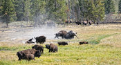 Buffalo fight