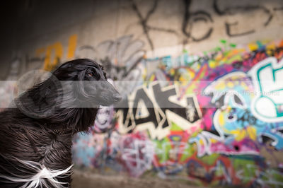 portrait of windblown afghan hound dog at urban graffiti wall