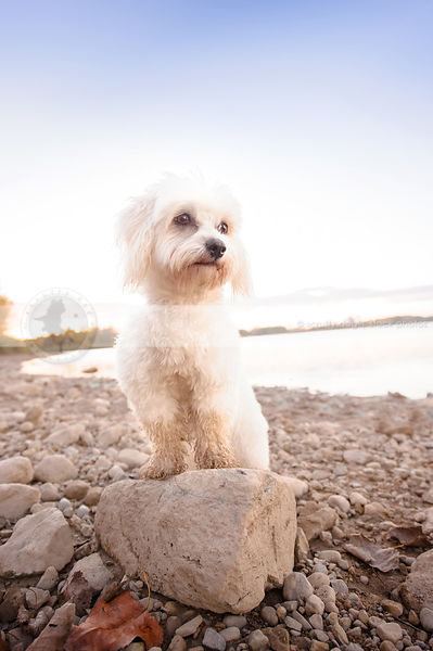 little white groomed havanese dog perched on rock on beach