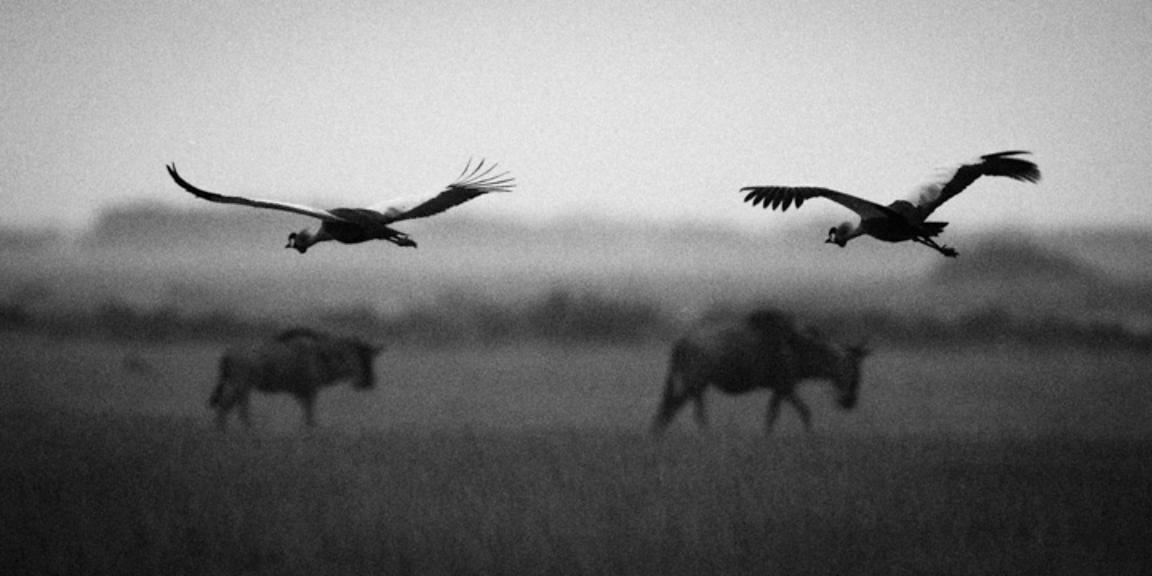 6613-Wildebeests_and_egrets_Kenya_2013_Laurent_Baheux