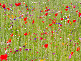 Summer Meadow 1