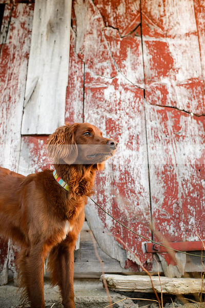 portrait of longhaired red setter dog with barn boards