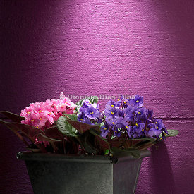 Flower Pot with Violets.