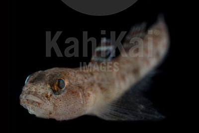 Baltic sea or Sand goby