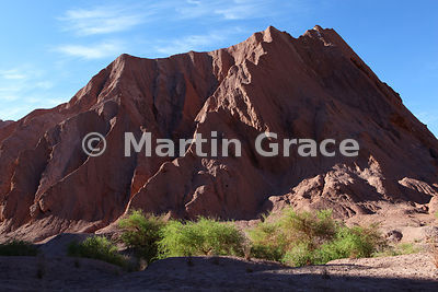 Chanar bushes (Geoffroea decorticans) in the Catarpe Valley, near San Pedro de Atacama