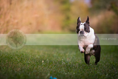 little black and white dog pouncing playing with ball in grass