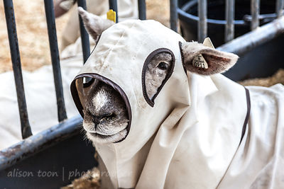 Sheep in protective coat