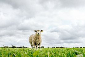 Danish sheep in Thy