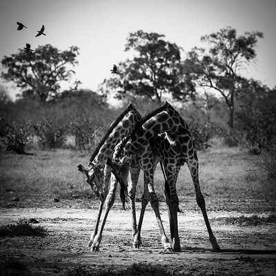 5513-Giraffes-Two_sisters_in_perfect_harmony_Laurent_Baheux