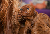 Three week old Irish Setter puppy