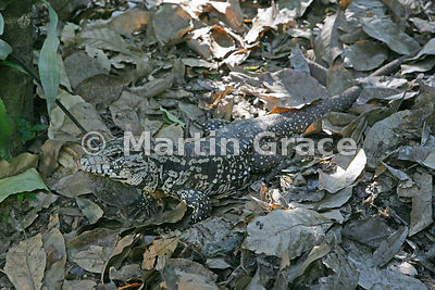 Common or Argentine Black-and-White Tegu (Tupinambis merianae) within the Iguassu (Iguazu) Falls National Park, Argentina