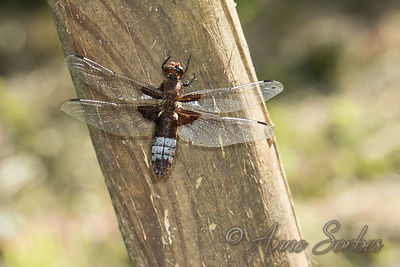 Broad-bodied Chaser (Libellula depressa) photos