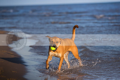 red cross breed dog fetching ball splashing on lake shore