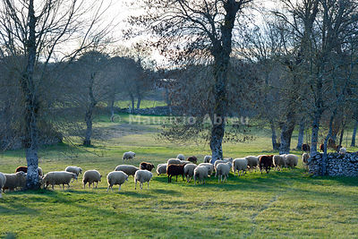 A herd of sheep in Pena Branca, Miranda do Douro. International Douro Nature Park, Portugal
