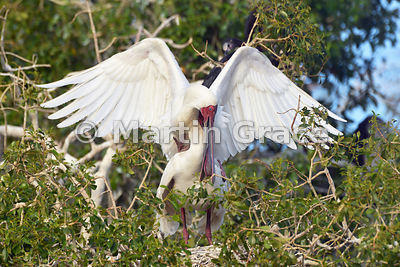 African Spoonbills (Platalea alba) mating, River Chobe, Botswana: Image 2 of 3 to show the wings of the male in different positions