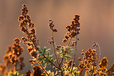 Late light on Fern Bush (Chamaebatiaria millefolium) in the Lava Beds National Monument, California
