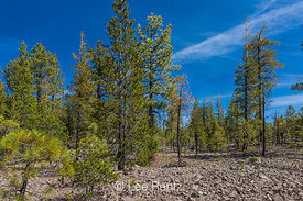 Forest Growing on Pink Dacite Lava in Lassen Volcanic National Park
