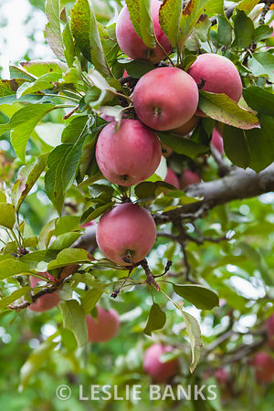 Fresh Apples on a Tree