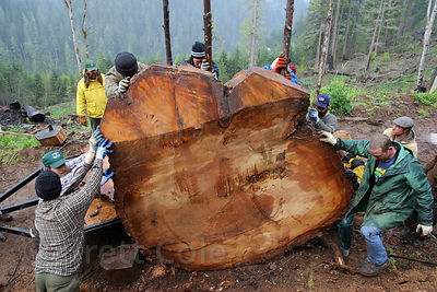 Activists maneuver a cross-section from an ancient Douglas-fir tree logged in the Willamette national forest, Oregon. It was taken on a national tour.