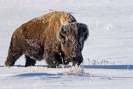 512 Bison In Snow