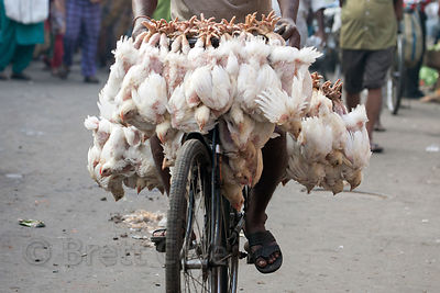 Live chickens are tied to a bicycle seat and led to slaughter at Newmarket, Kolkata, India.