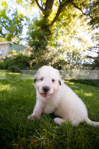happy small white puppy dog smiling sitting in summer yard