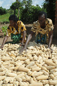 Two African women sorting through harvested corn, Mbale, Uganda Africa