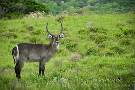 single male waterbuck