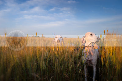 two porcelaine hounds standing in wheat under blue sky