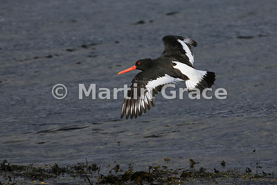 Eurasian Oystercatcher (Haematopus ostralegus) in flight, Isle of Mull, Scotland