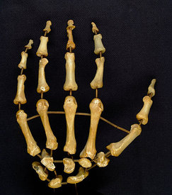 Mounted set of left hand bones, posterior/ dorsal view