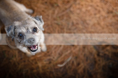 happy little terrier dog smiling up from natural setting