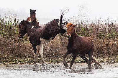 WIld horses (Equus ferus caballus) sparring on Assateague Island, Maryland