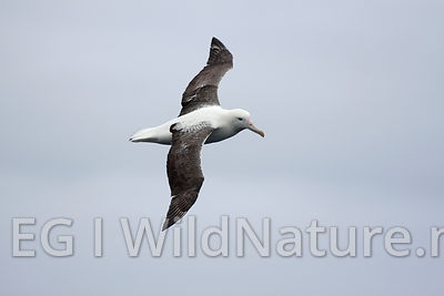 Northern-royal albatross - Southern Ocean