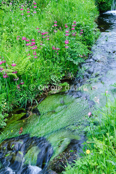 The Addicombe Brook edged with lush moisture loving plants including magenta Primula pulverulenta, ferns, bluebells and red campion. Lukesland, Harford, Ivybridge, Devon, UK